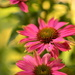 Echinacea  by ziggy77