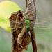 Green dragonfly! by fayefaye