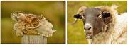 18th Aug 2015 - worrying sheep