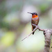 Male Ruby Throated Humming Bird by tosee