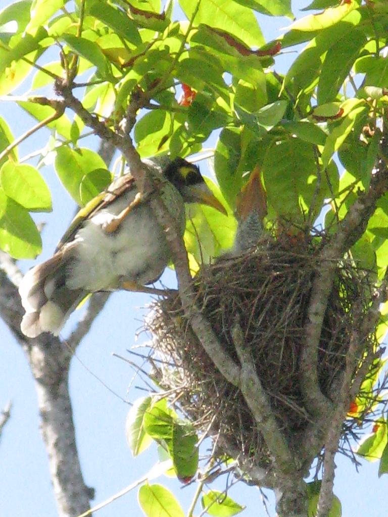 Noisy Miner Bird by loey5150