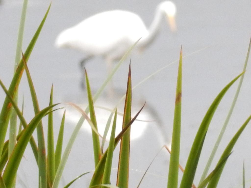 egret by pinkpaintpot
