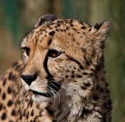 19th Aug 2015 -  19th August 2015 - Cheetah