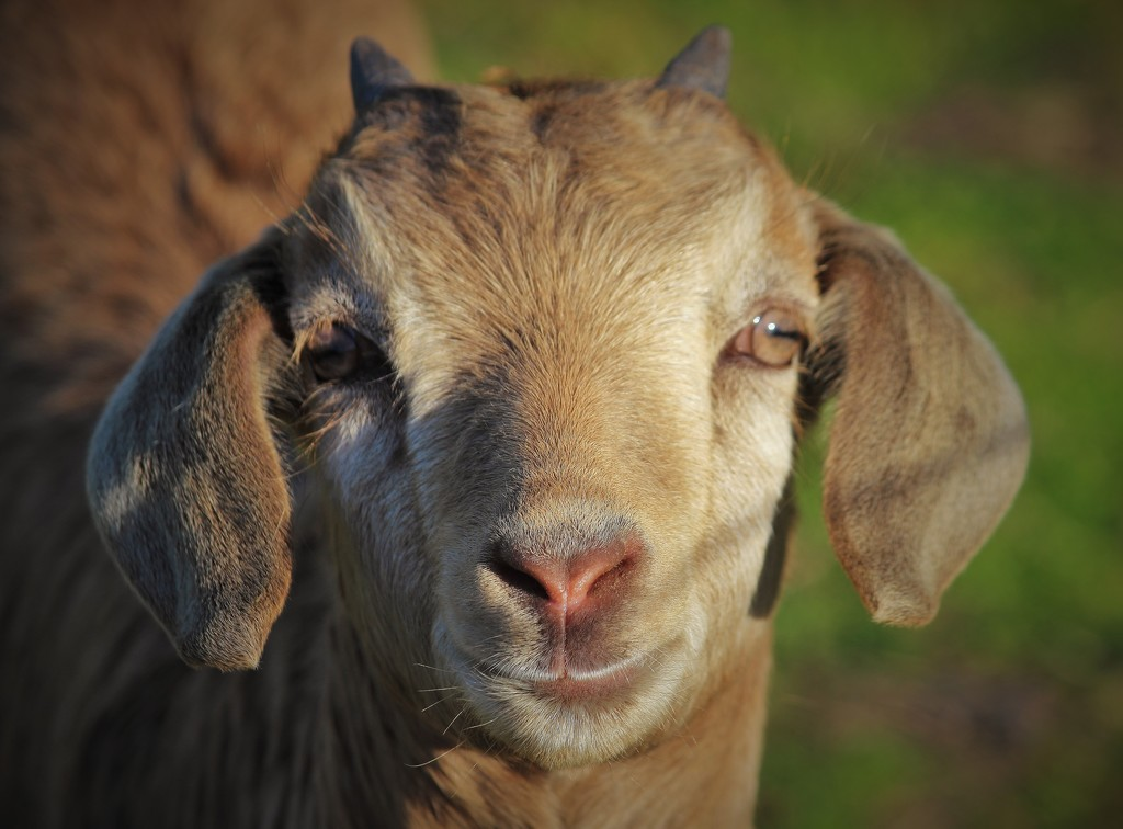"""HillBilly Goat""... by tellefella"