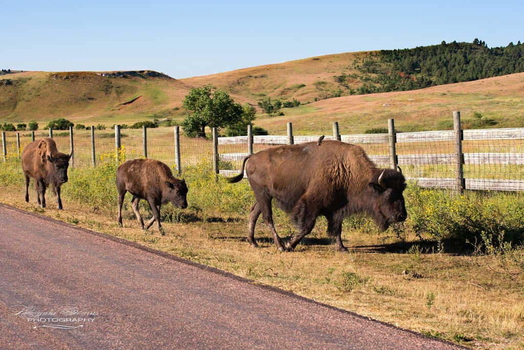 Buffalo in Custer State Park by lynne5477