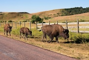 21st Aug 2015 - Buffalo in Custer State Park