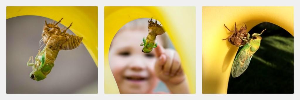 Emerging Cicada  by ckwiseman