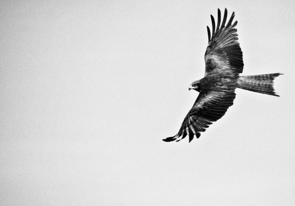 black kite by annied