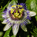 Focus Stacked Passion Flower