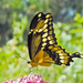 Giant Swallowtail Revisited by milaniet