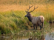 23rd Aug 2015 - Elk in Yellowstone NP