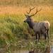 Elk in Yellowstone NP by lynne5477