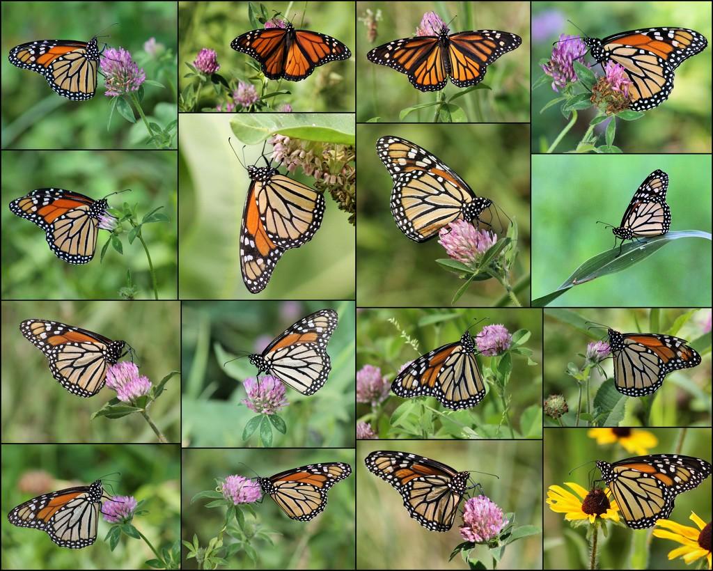 Monarchs 2015 by cjwhite