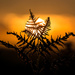 Sunset Bracken