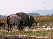 24th Aug 2015 - Yellowstone Bison
