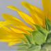Sunflower Petals by mhei