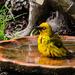 Weaver having a Wash by salza