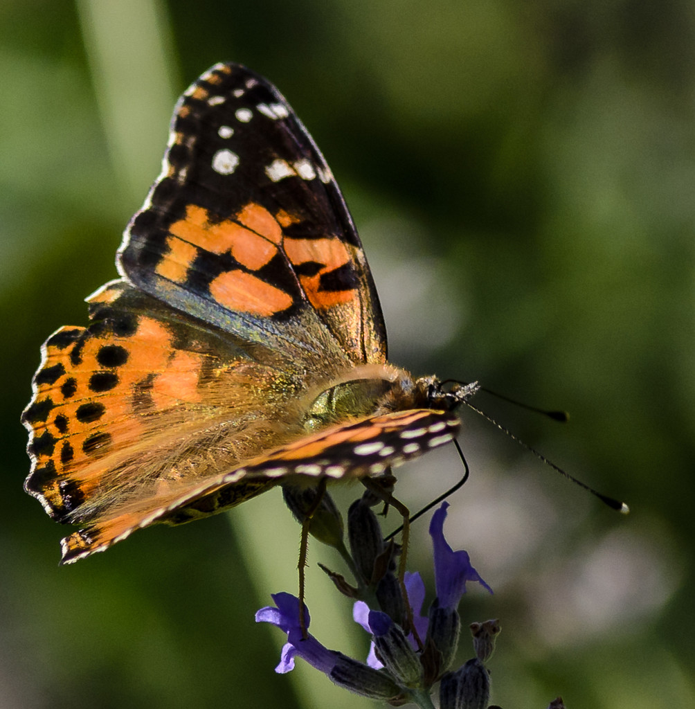 Painted Lady by jgpittenger