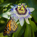 Monarch on Passion Flower  by jgpittenger