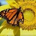Sunny Monarch