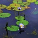 Water Lily's.   by happysnaps