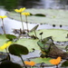 At Home Among The Lilypads by calm