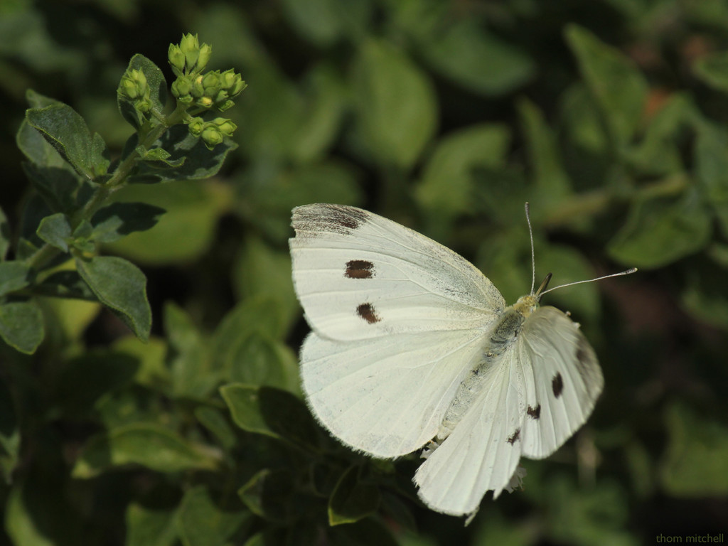 Cabbage White (female) by rhoing