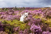 26th Aug 2015 - 26th August 2015     - Finlay in the heather