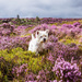 26th August 2015     - Finlay in the heather by pamknowler
