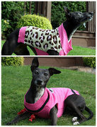 26th Aug 2015 - What the discerning Whippet will be wearing this Autumn