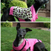 What the discerning Whippet will be wearing this Autumn
