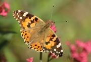 27th Aug 2015 - Painted Lady