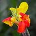 Canna lily, Hampton Park, Charleston, SC by congaree
