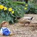 Daffy - Ducks :) by gilbertwood