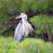 Down-river Heron
