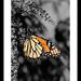 The Beautiful Monarch! by fayefaye