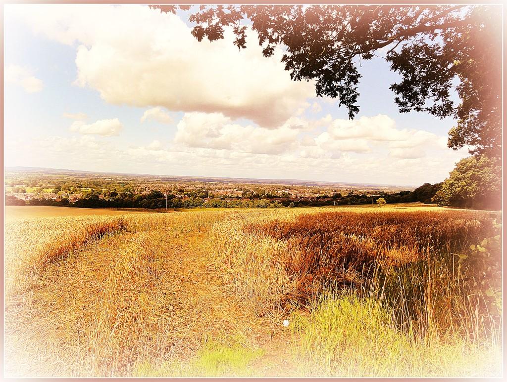Golden fields   by beryl