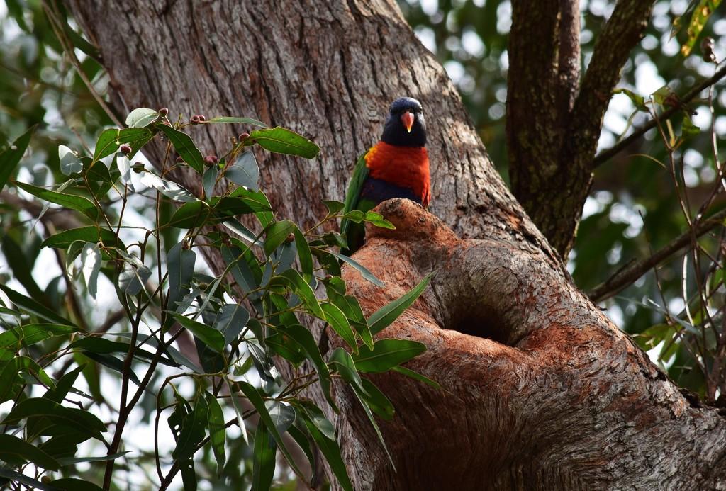 'Mumma' Lorikeet gaurding her Nest... by happysnaps