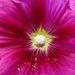Cauliflower ;-) by stiggle