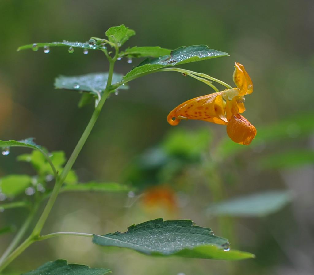 Orange Jewelweed by loweygrace