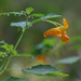 Orange Jewelweed by loweygrace