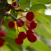 Ornamental Crabapples