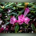 Rhododendron by maggiemae