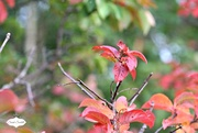 29th Aug 2015 - Red leaves
