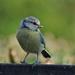 BLUE TIT by markp