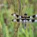 Twelve spotted skimmer! by fayefaye