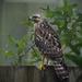 Backyard Hawk by rickster549