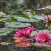 Water Lilies by jamibann
