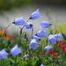 Little Blue Bells by seattlite