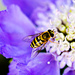 Hoverfly by elisasaeter